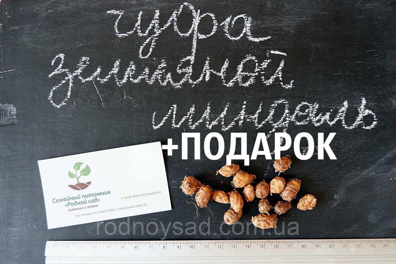 Чуфа семена (100шт) земляной орех миндаль, сыть, тигровый орех, зимовник + инструкция + подарок