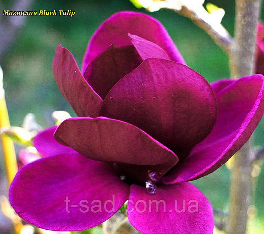 Магнолия Black Tulip  (Черный тюльпан) 70-85 см