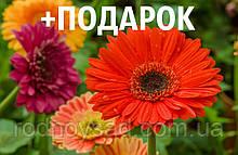 Гербера садовая семена (20 шт)