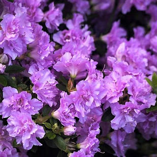 Рододендрон тупой Элси Ли (Rhododendron obtusum Elsie Lee)