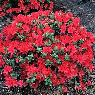 Рододендрон тупой Хино Кримсон (Rhododendron obtusum Hino Crimson)