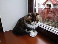 Котик персидский экстремальный тип табби браун вайт