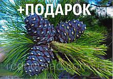 Кедр европейский семена 20 шт (сосна кедровая) для саженцев Pinus cembra + инструкции + подарок