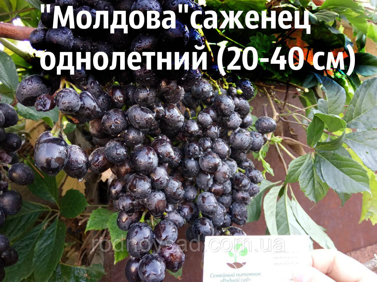 """Виноград """"Молдова"""" саженцы"""