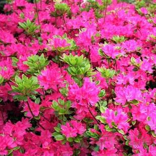 Рододендрон тупой Кермезина (Rhododendron obtusum Kermesina)