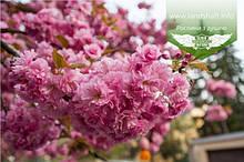 Prunus serrulata 'Kanzan-Zakura', Вишня дрібнопильчаста 'Канзан' сакура,200-250см,C18 - горщик 18л