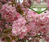 Prunus serrulata 'Kanzan-Zakura', Вишня дрібнопильчаста 'Канзан' сакура,200-250см,C18 - горщик 18л, фото 4