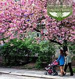 Prunus serrulata 'Kanzan-Zakura', Вишня дрібнопильчаста 'Канзан' сакура,200-250см,C18 - горщик 18л, фото 6