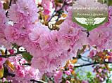 Prunus serrulata 'Kanzan-Zakura', Вишня дрібнопильчаста 'Канзан' сакура,200-250см,C18 - горщик 18л, фото 7