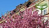 Prunus serrulata 'Kanzan-Zakura', Вишня дрібнопильчаста 'Канзан' сакура,200-250см,C18 - горщик 18л, фото 8