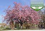 Prunus serrulata 'Kanzan-Zakura', Вишня дрібнопильчаста 'Канзан' сакура,200-250см,C18 - горщик 18л, фото 9