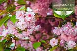 Prunus serrulata 'Kanzan-Zakura', Вишня дрібнопильчаста 'Канзан' сакура,200-250см,C18 - горщик 18л, фото 10