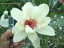 Магнолія Joli Pompon (Джолі Помпон) 55-60см 3год