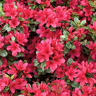 Рододендрон тупой Модеркенсдах (Rhododendron obtusum Moederkensdag)