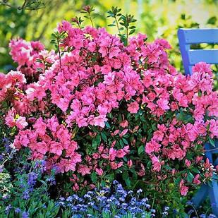 Рододендрон японский Блаувс Пинк (Rhododendron japonica Blaauw's Pink)