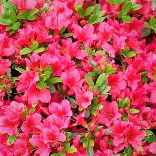 Рододендрон японский (азалия) Geisha Rosa