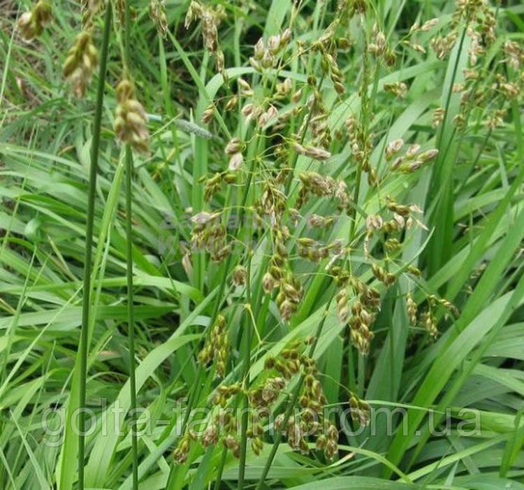 Зубровка душистая трава 100 грамм.