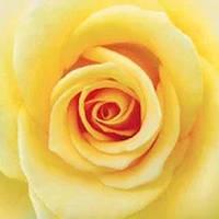 Фотошпалери, квіти, Жовта троянда, 12 аркушів, 196х210см