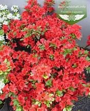 Azalea japonica 'Fridoline', Азалія японська 'Фрідолін',C2 - горщик 2л