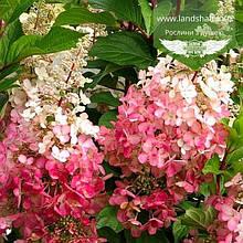 Hydrangea paniculata 'Pinky Winky', Гортензія волотиста 'Пінкі Вінкі',C2 - горщик 2л