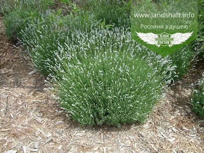 Lavandula angustifloia 'Alba', Лаванда вузьколиста 'Альба',C2 - горщик 2л