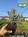 Lavandula angustifloia 'Alba', Лаванда вузьколиста 'Альба',C2 - горщик 2л, фото 2
