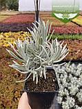 Lavandula angustifloia 'Alba', Лаванда вузьколиста 'Альба',C2 - горщик 2л, фото 3