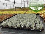 Lavandula angustifloia 'Alba', Лаванда вузьколиста 'Альба',C2 - горщик 2л, фото 4
