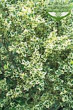 Buxus sempervirens 'Marginata', Самшит вічнозелений 'Маргіната',C7.5 - горщик 7,5 л