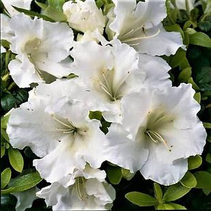 Рододендрон японский (азалия) Pleasant White
