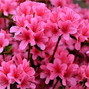 Рододендрон японский (азалия) Сильвестер (Rhododendron Silvester)