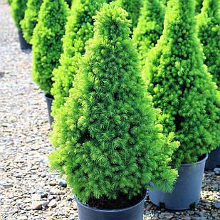 Саженцы Ели канадской Коника (Picea glauca Conica) - 4-х летняя