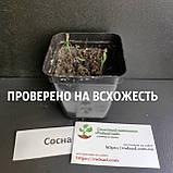 Сосна жёсткая семена (50 шт) (Pinus rigida) для выращивания саженцев + подарок, фото 3