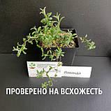 Лаванда настоящая семена (20 шт) леванда, лавенда, цветная трава + инструкция + подарок, фото 3