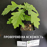 Дуб черешчатый семена (20шт) (дуб обыкновенный или английский) для саженцев насіння для саджанців, фото 4