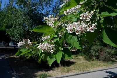 Саженцы декоративных растений.