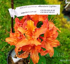 Саженцы азалии гибридной Мандарин Лайтс/Mandarin lighs в конт.1,5л