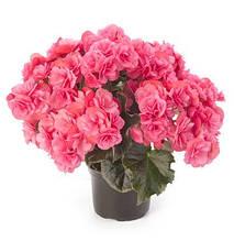 Рассада черенки Бегония элатиор Solenia  (кустовая мультицветковая) Dark Pink