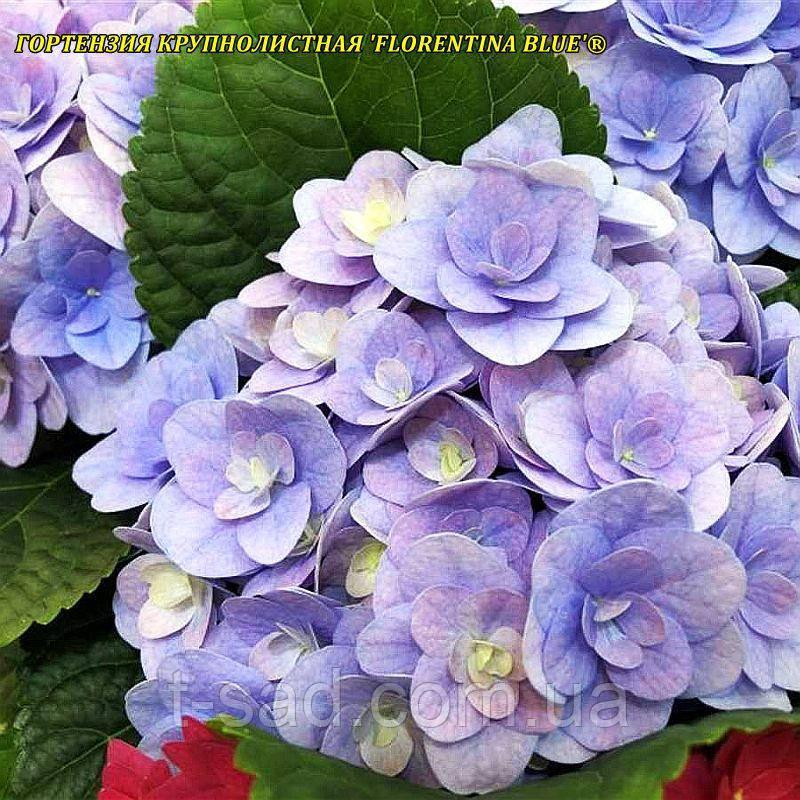 Гортензія крупнолистовая Florentina Blue (Флорентіна Блу) махрова 2г