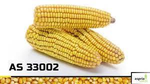 Семена кукурузы AS 33002, простой гибрид (ФАО 250)