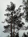 Кронирование спиливание деревьев, обрезка веток сада, фото 4