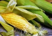 Семена кукурузы AS 34010, простой гибрид (ФАО 320)