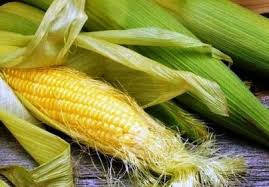 Семена кукурузы AS 34011, простой гибрид (ФАО 330)