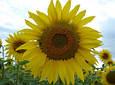 Насіння соняшнику АС34101КЛ , фото 3