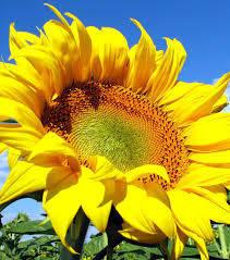 Насіння соняшнику АС33102КЛ