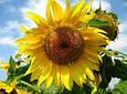 Насіння соняшнику АС33104КЛ , фото 2