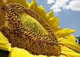 Насіння соняшнику АС33107 OR5, фото 2