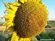 Семена подсолнечника  АС33108 НО, фото 2