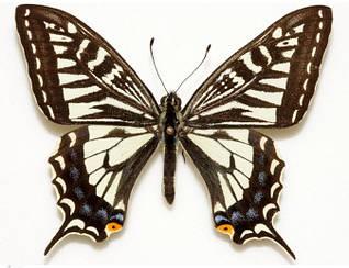 Удивительные Бабочки №1 - Парусник Ксут | Centauria