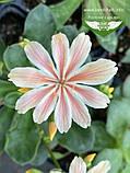 Lewisia cotyledon 'Elise', Левізія туполиста 'Еліс',P7-Р9 - горщик 9х9х9, фото 5